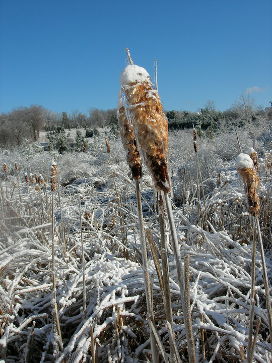 Ice-covered Cattails